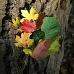 Leaves on Bark: Autumn leaves.