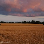 Cornfield at Dusk: It had been a stormy day