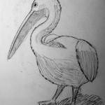 Pelican, Paphos, Cyprus. July 1995